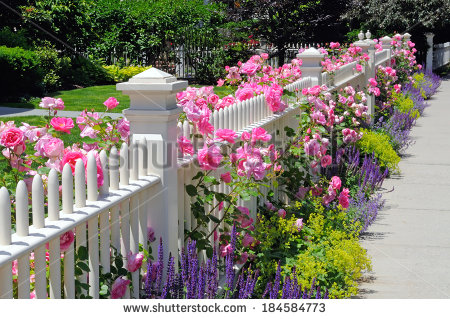 Garden Fence Pink Roses Sage Speedwell Stock Photo 184584773.