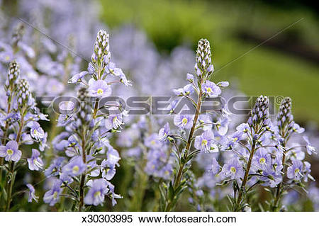 Stock Image of Harebell Speedwell (Veronica prostrata) x30303995.