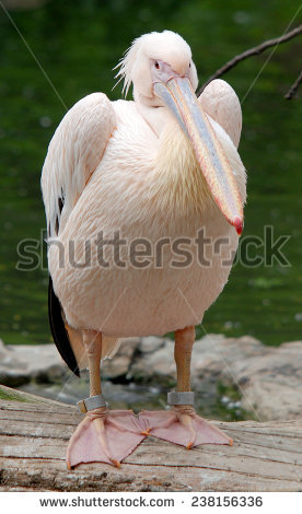 Pelican Competition Is Ridiculous Stock Photos, Royalty.