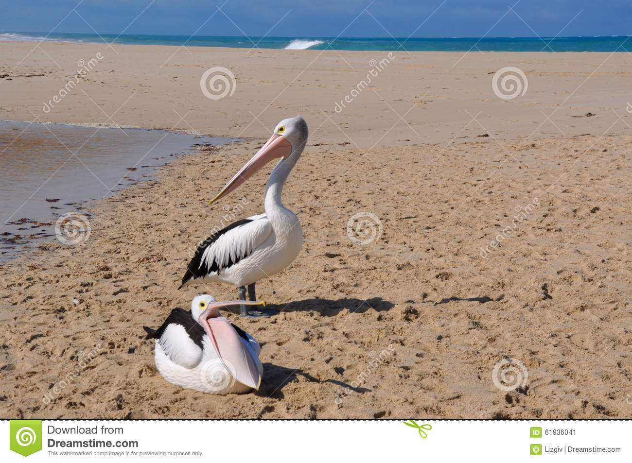 Throat Pouch Display: Pelicans On Sand, Indian Ocean Stock Photo.