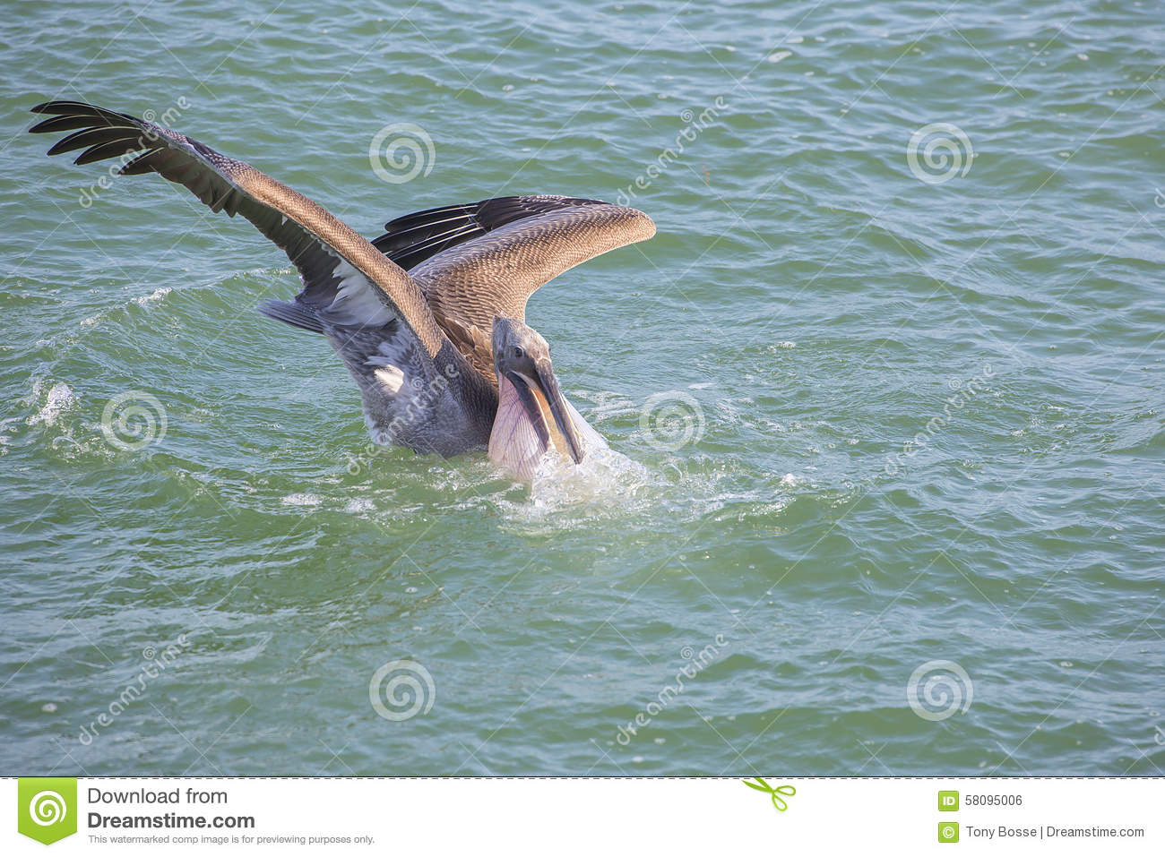 Pelican Diving During A Fish Hunt Stock Photo.