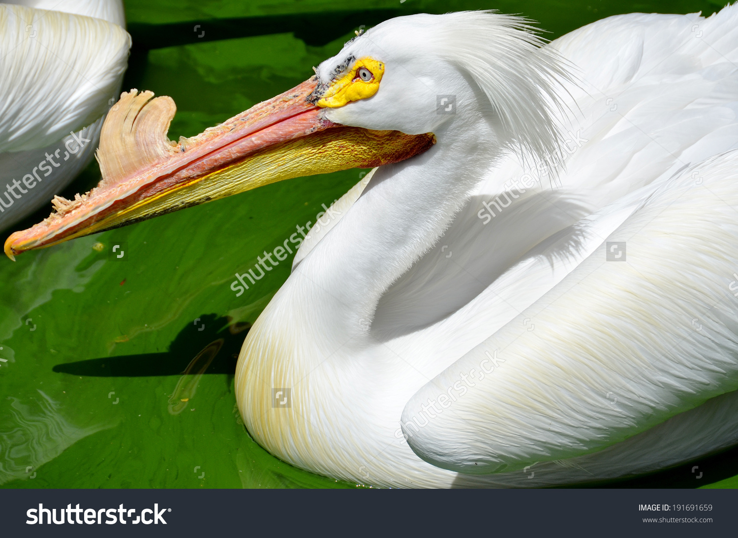 Pelicans Large Water Birds They Characterised Stock Photo.