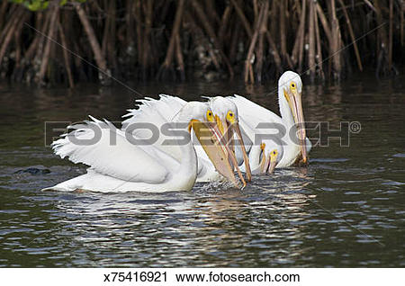 Stock Photography of American White Pelicans, Pelecanus.
