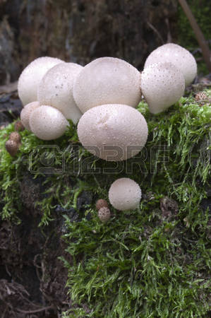 Mushrooms On Stumps Stock Photos Images. Royalty Free Mushrooms On.