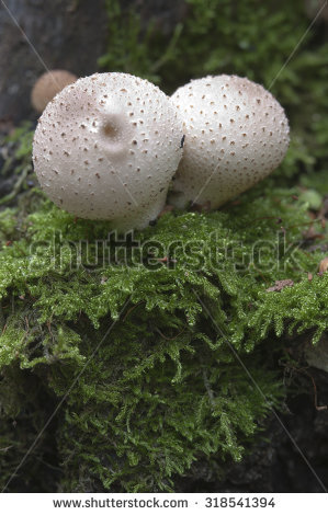 Puffballs Stock Photos, Royalty.