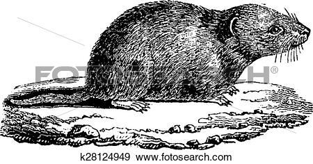 Clip Art of Common vole, vintage engraving. k28124949.