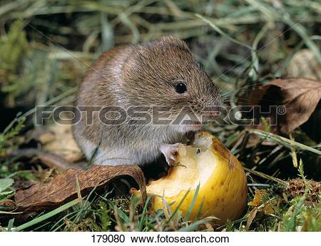Stock Photography of European Pine Vole (Microtus subterraneus.