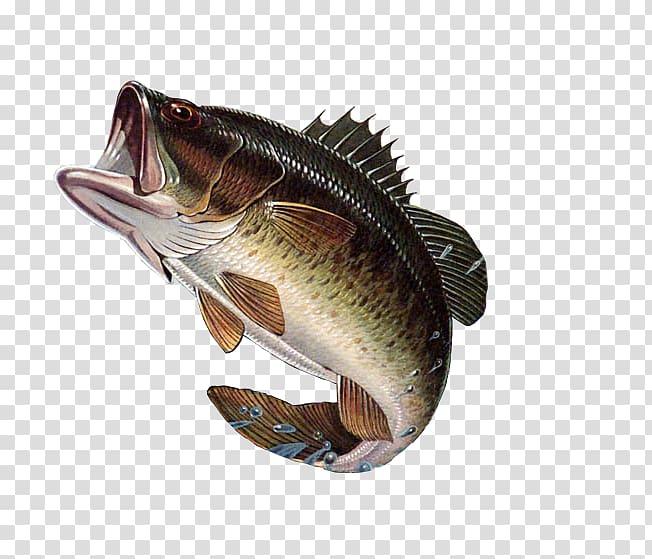 Bass fishing Largemouth bass, large mouth bass transparent.