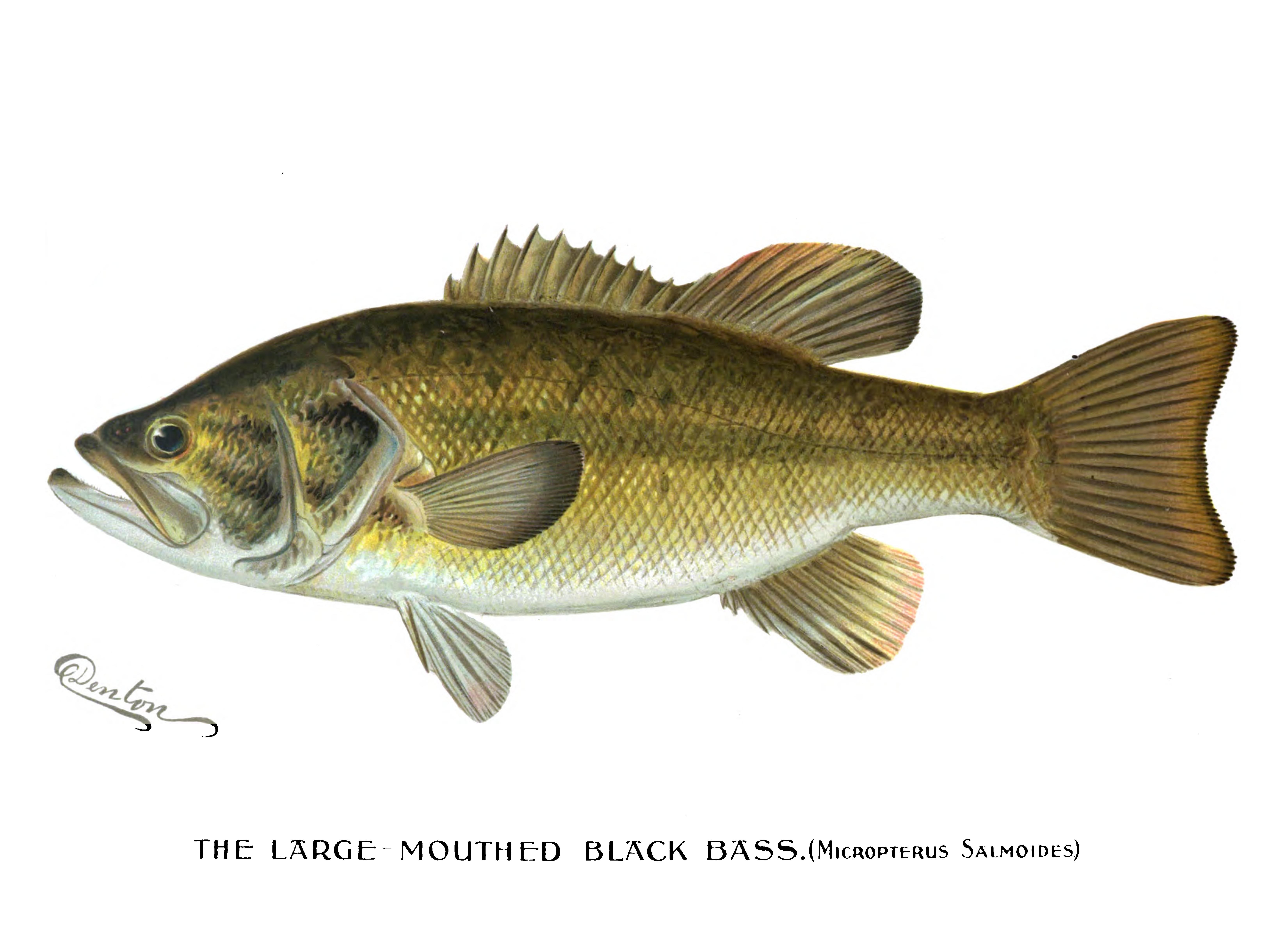 File:Denton Largemouth Bass 1896.png.