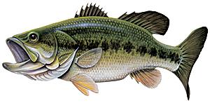 Fish,Vertebrate,Fish,Bass,Ray.