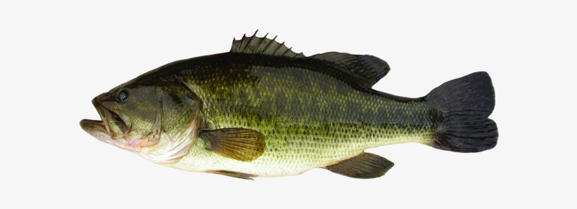 Largemouth Bass Png PNG Images.