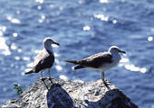 Pictures of Sea gull, or mew gull (Laridae). u16939118.
