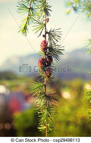 Stock Photography of Branch with cones. Larix leptolepis, Ovulate.