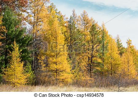 Picture of Tamaracks in the Fall.