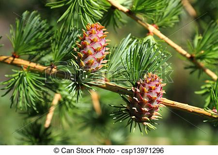 Stock Photographs of Branch with cones. Larix leptolepis.