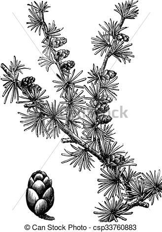 Vector of Tamarack (Larix Americana) or Hackmatack, vintage.
