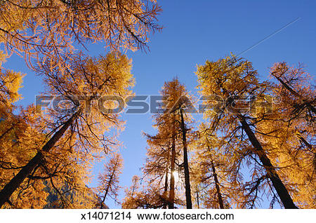 Stock Photo of Larch trees (Larix europaea), low angle view.