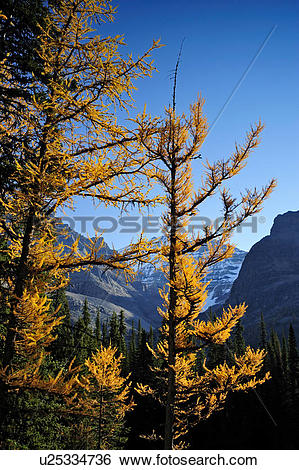 Stock Images of Autumn Western larches (Larix occidentalis) and Mt.