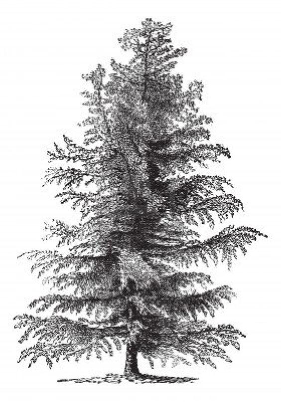 European larch (Larix Europaea) or Larix decidua, vintage engraved.