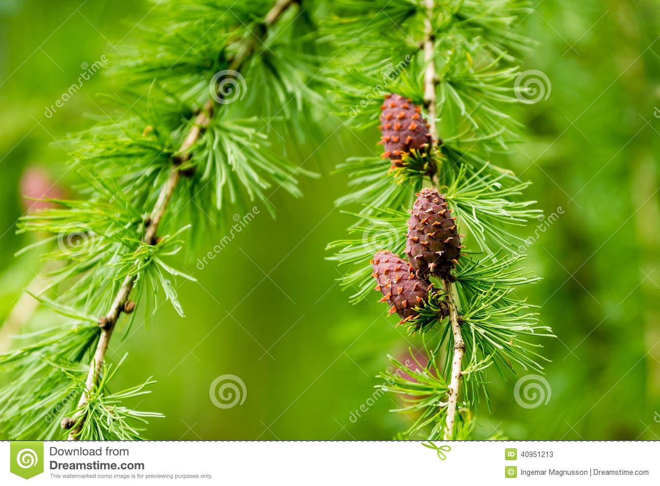 Larix Decidua, European Larch Stock Photo.