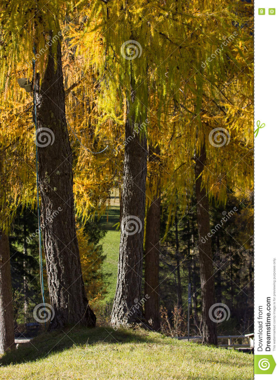 Larix Decidua (larch) Stock Photo.