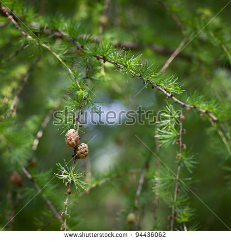 Larix Decidua Stock Images, Royalty.