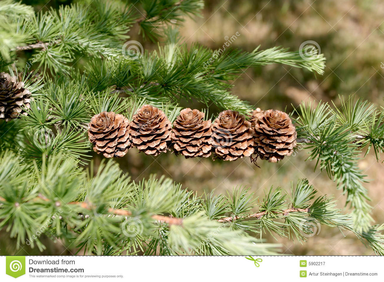 Larix Decidua Stock Photo.