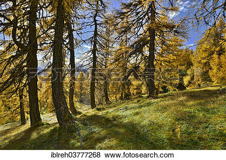 "Pictures of ""European Larch (Larix decidua), larch meadows."