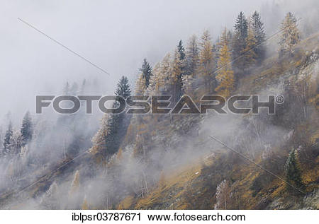 "Stock Photography of ""Larches (Larix decidua) in the first."