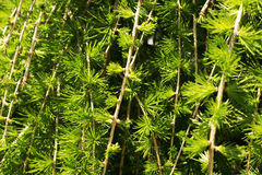 Japanese Larch Stock Photos, Images, & Pictures.