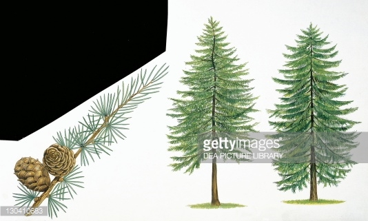 Larch Tree Stock Illustrations And Cartoons.