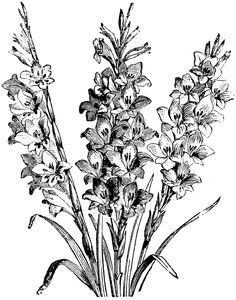 gladiolus drawing.