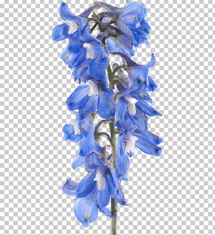 Larkspur Flower Stock Photography PNG, Clipart, Bellflower.
