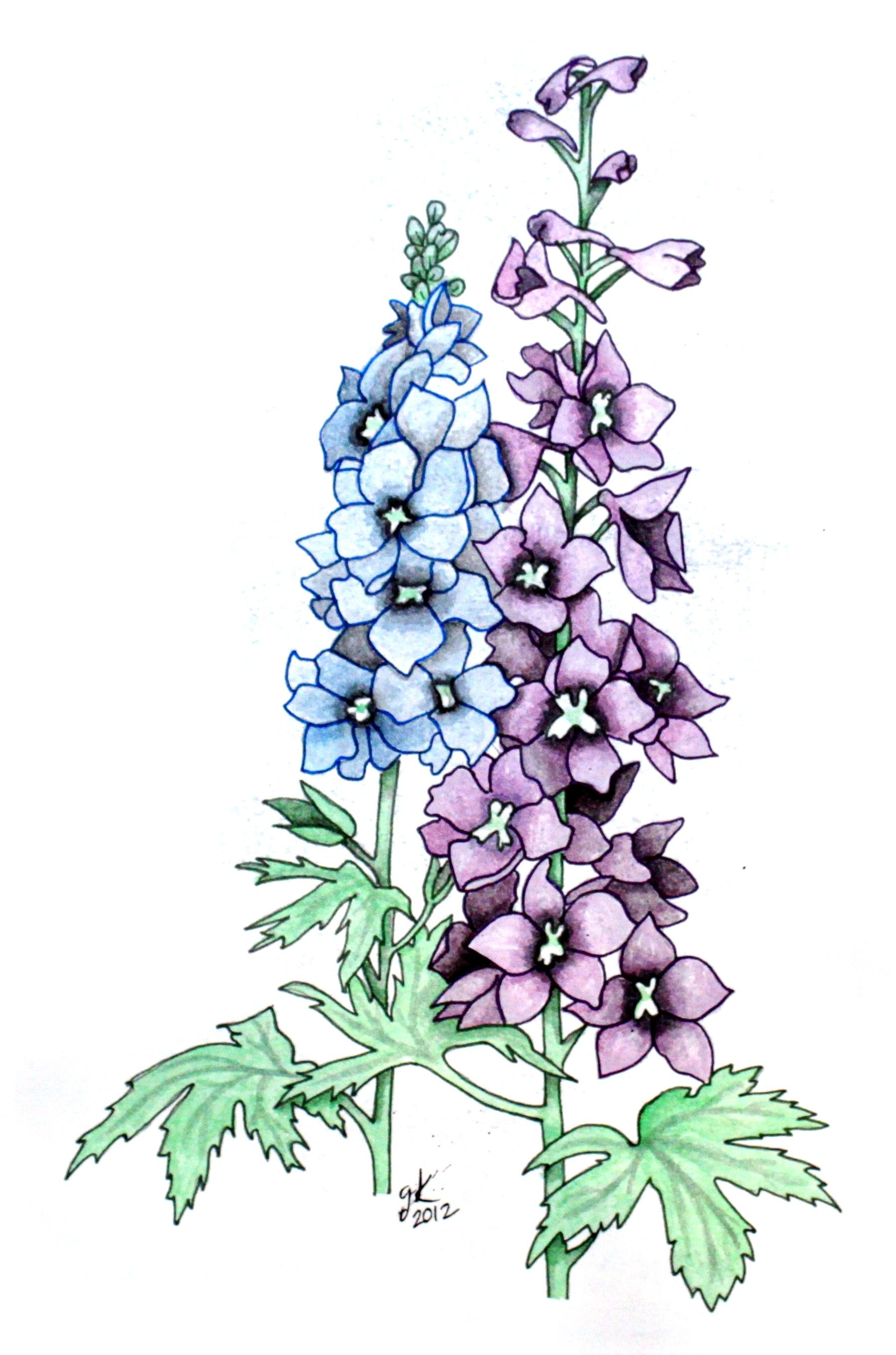 Larkspur Flower Drawing at PaintingValley.com.