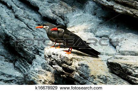 Stock Photograph of Inca Tern. (Scientific name: Larosterna Inca.