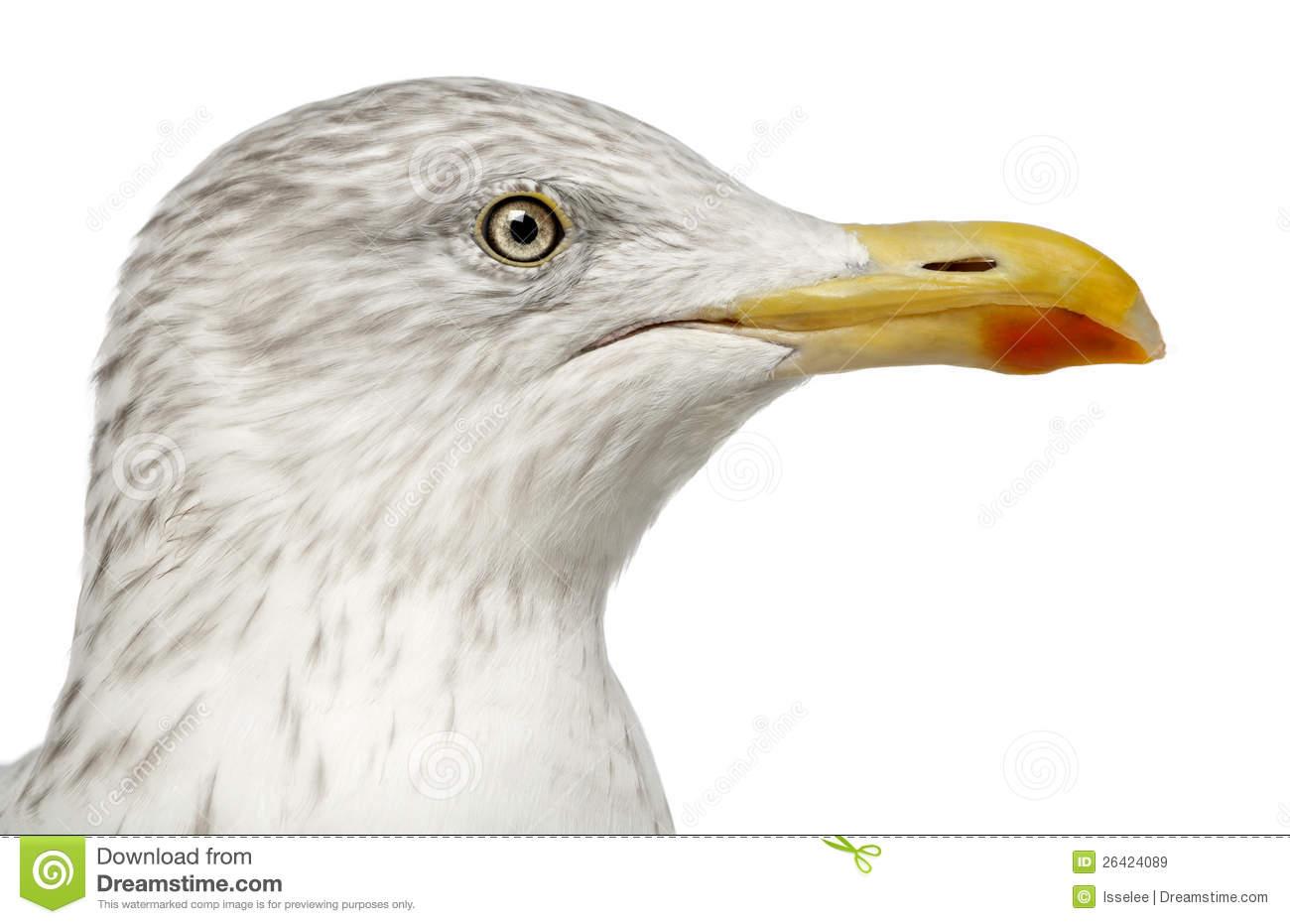 European Herring Gull, Larus Argentatus Royalty Free Stock Images.