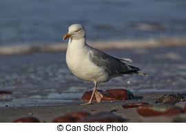 Picture of Herring Gull (Larus argentatus).