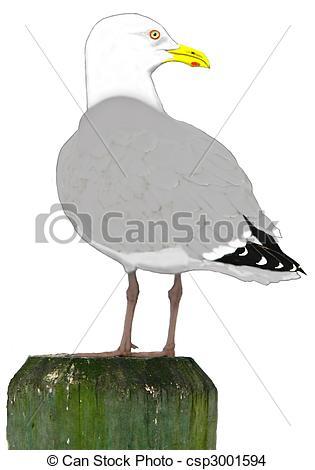 Drawing of Herring Gull.