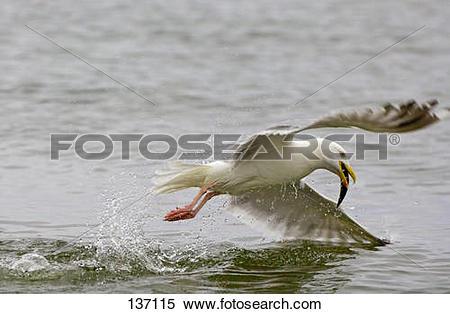 Stock Image of herring gull catching fish / Larus argentatus.