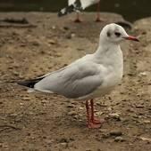 Stock Photo of Common Gull.