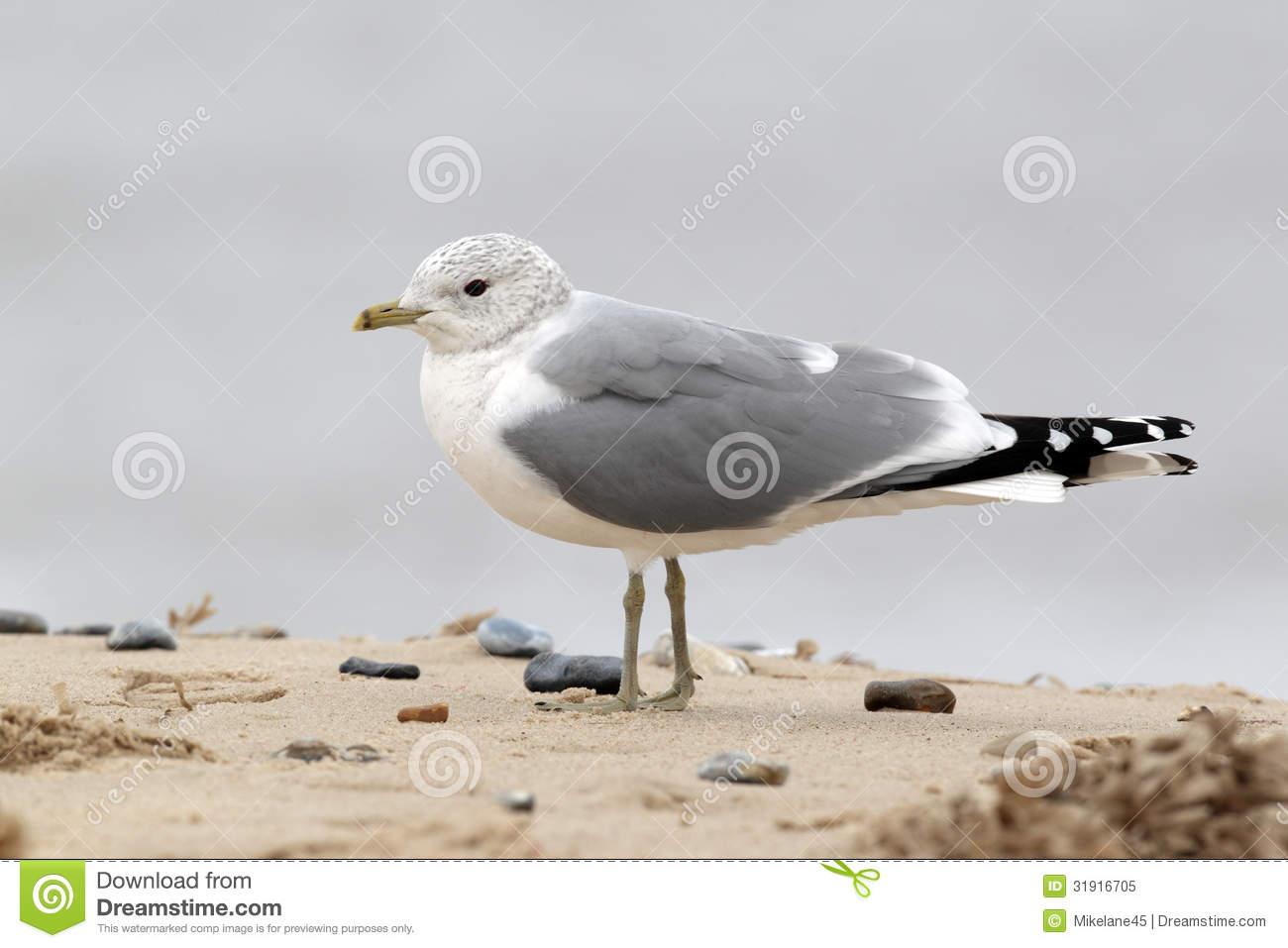 Common Gull, Larus Canus Royalty Free Stock Photo.