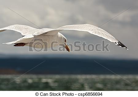 Stock Photo of Common Gull (larus canus) csp6856694.