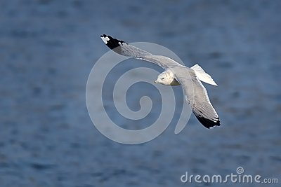 Mew Gull Larus Canus Flying Over The Lake With Blue Stock Photo.