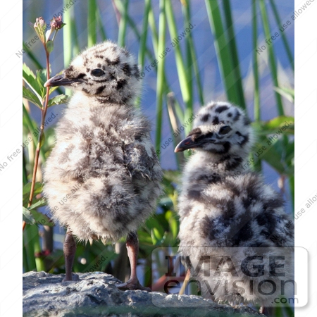 Picture of Two Spotted Mew Gull Chicks (Larus canus).
