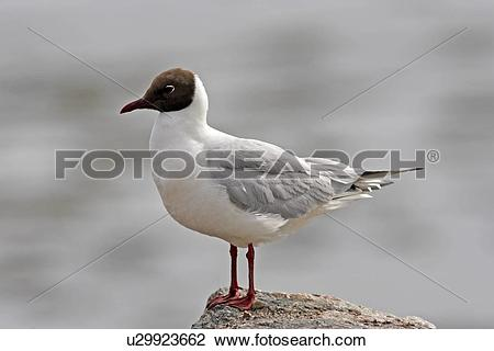 Stock Photo of A Black Headed Gull (Larus ridibundus) in breeding.
