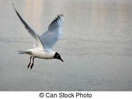 Pictures of Black headed Gull Larus ridibundus flying.