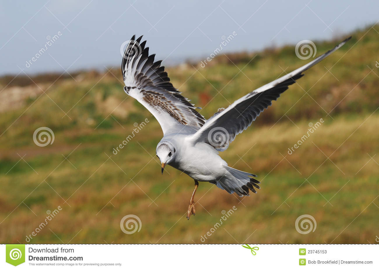 Juvenile Black Headed Gull(Larus Ridibundus) Stock Photos.