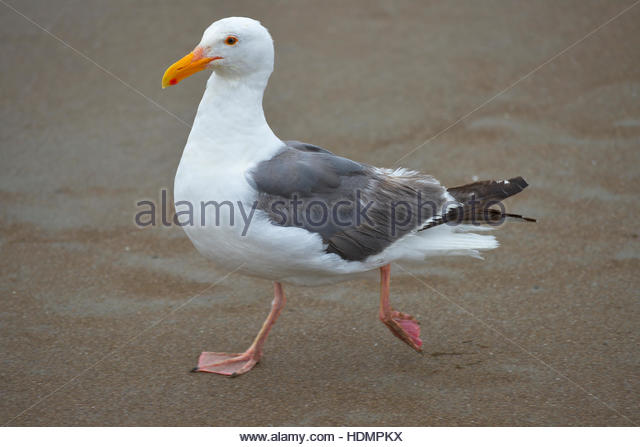 Herring Gull Stock Photos & Herring Gull Stock Images.