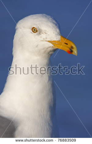 Herring Gull On The Rocks Stock Photos, Royalty.