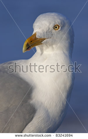 "herring_gull"" Stock Photos, Royalty."
